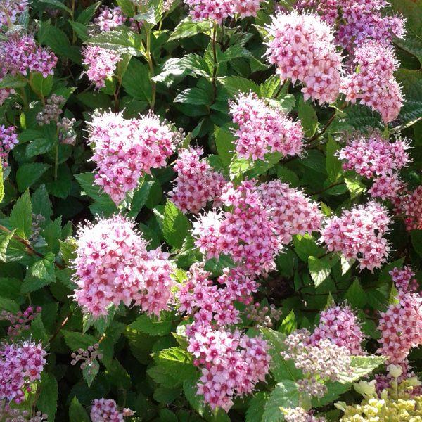 Spiraea japonica little Princess