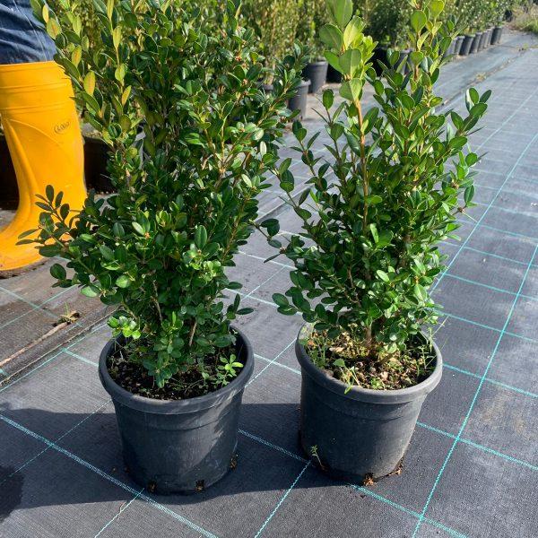 Buxus sempervirens faulkner