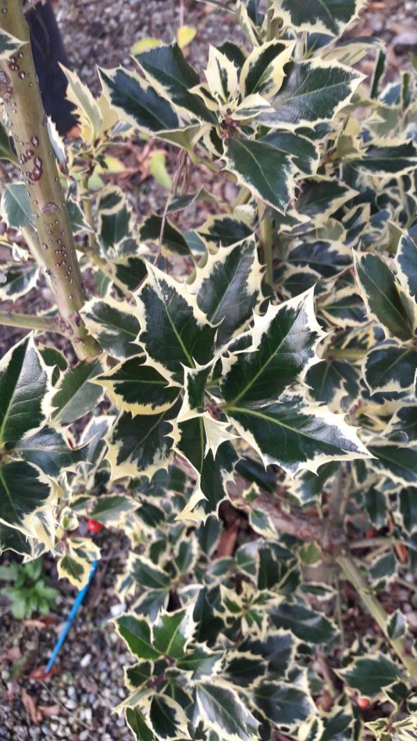 Ilex aquifolium argentea marginata
