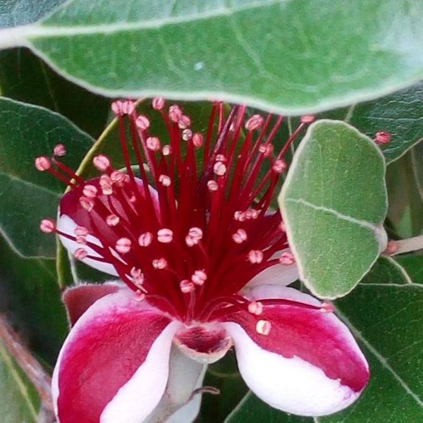 "Acca sellowiana "" feijoa"""