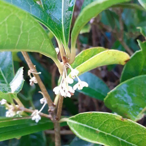 "Osmanthus ""olea fragrans"" fiore bianco"
