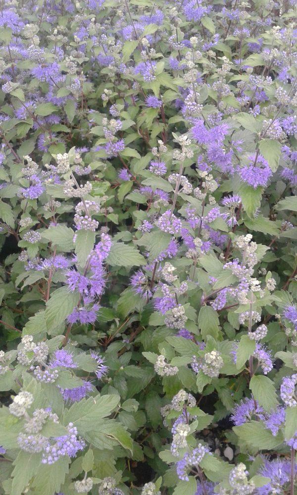Caryopteris xclandonensis heavenly blue