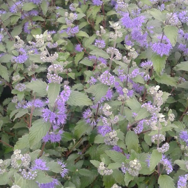 Caryopteris xclandonensis heavenly blue