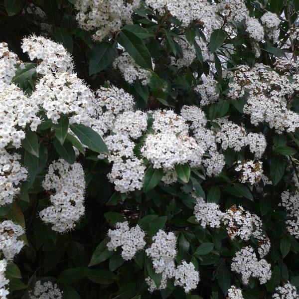 """Viburnum tinus """" Eve Price """""""