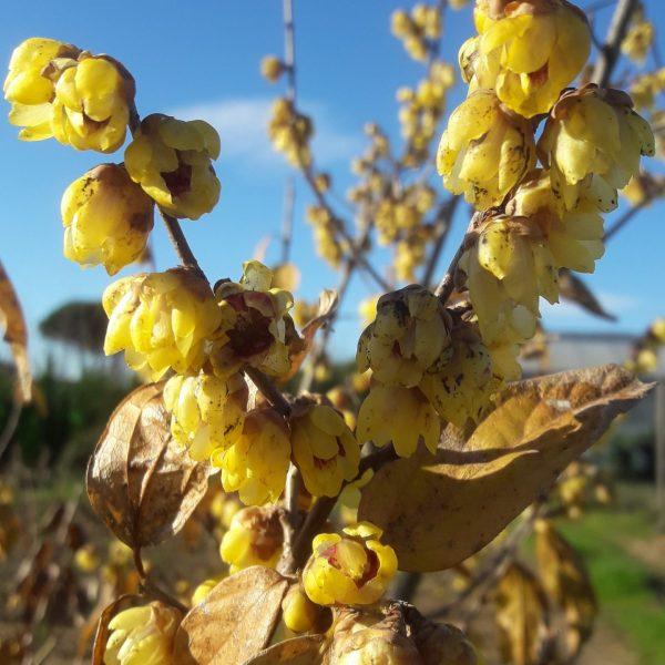 Chimonanthus  calycantus praecox