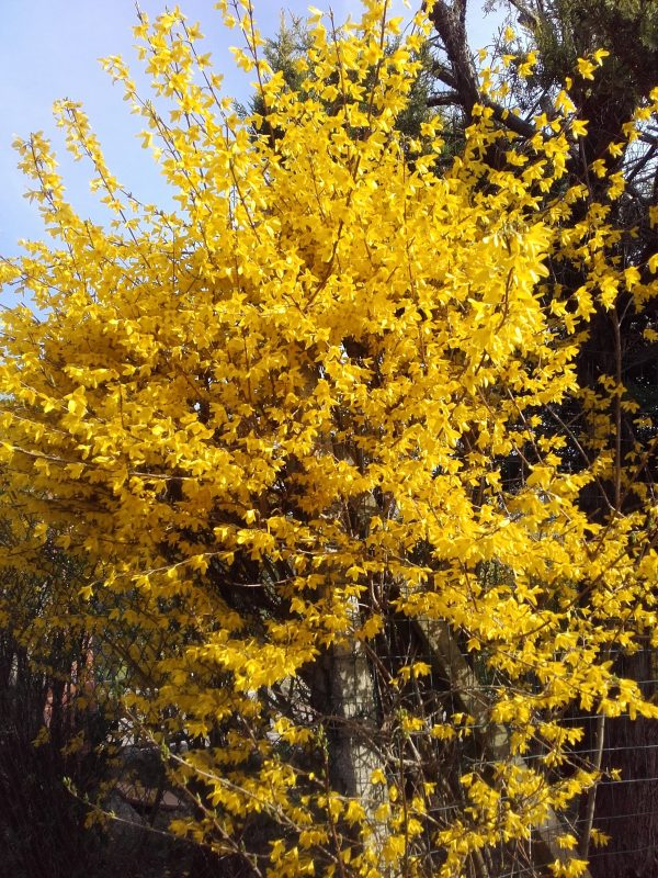 Forsythia xintermedia lynwood gold