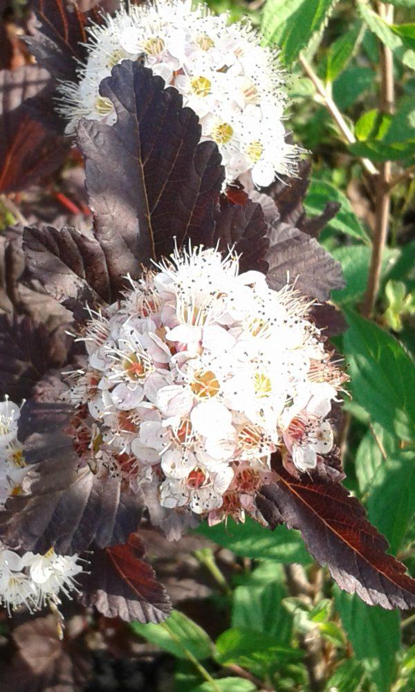 "Physocarpus opulifolius "" diabolo"""