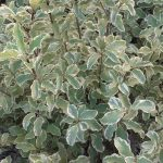 "Pittosporum tenuifolium "" Silver Queen """