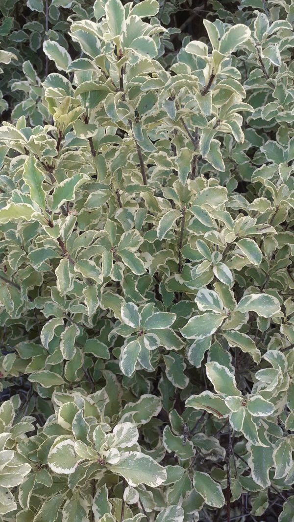 """Pittosporum tenuifolium """" Silver Queen """""""