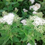 Spiraea japonica albiflora