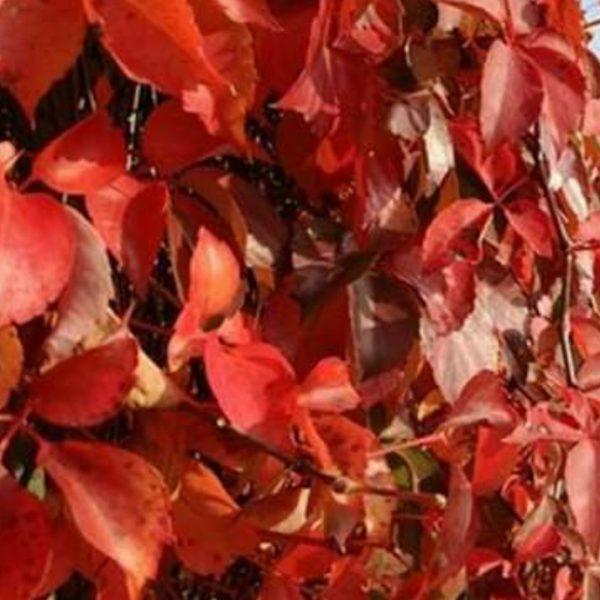 Phartenocissus quinquefolia