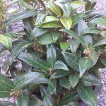 Sarcococca Humilis
