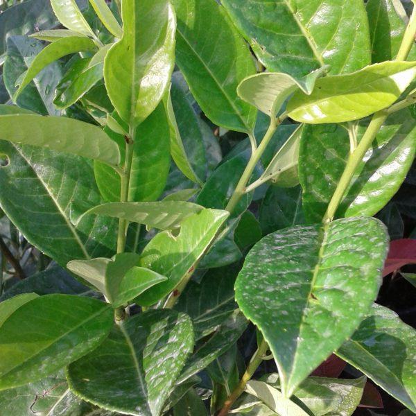 """Prunus laurocerasus """"novita"""""""