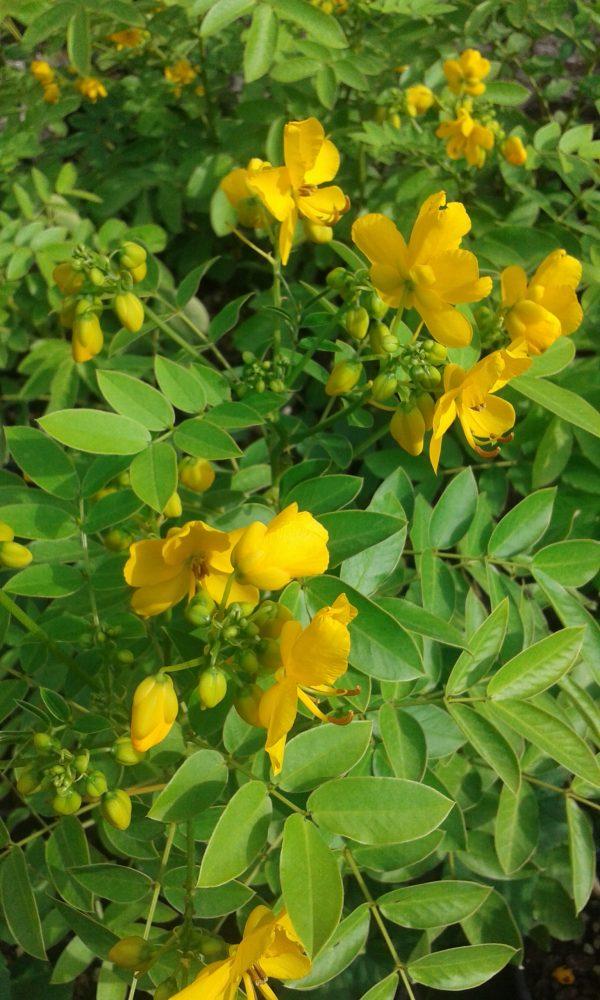 Cassia x floribunda