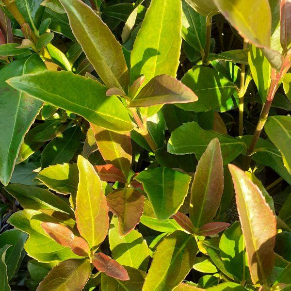 Viburnum tinus lucidum