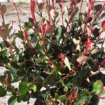 Photinia fraseri nana
