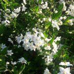 Solanum jasminoides laxum